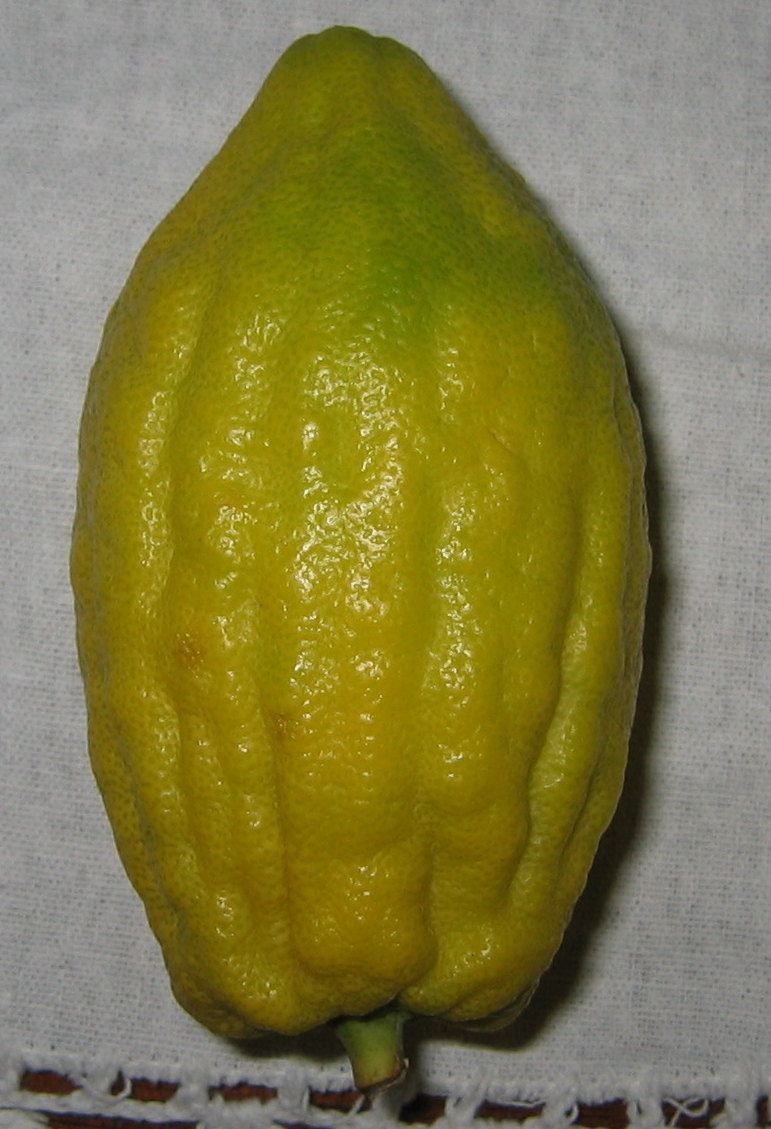 The etrog. Credit: Wikimedia Commons.