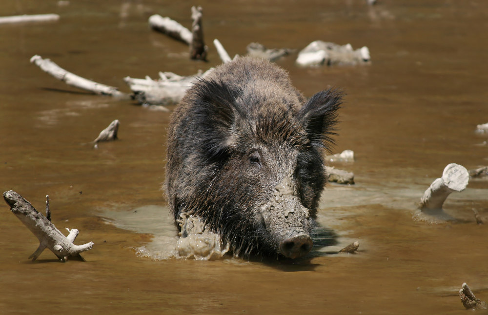 A wild boar. Credit: Richard Bartz via Wikimedia Commons.