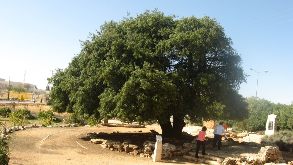 Click photo to download. Caption: The Lone Oak in Gush Etzion. Credit: Yuval Cooperan via PikiWiki Israel.