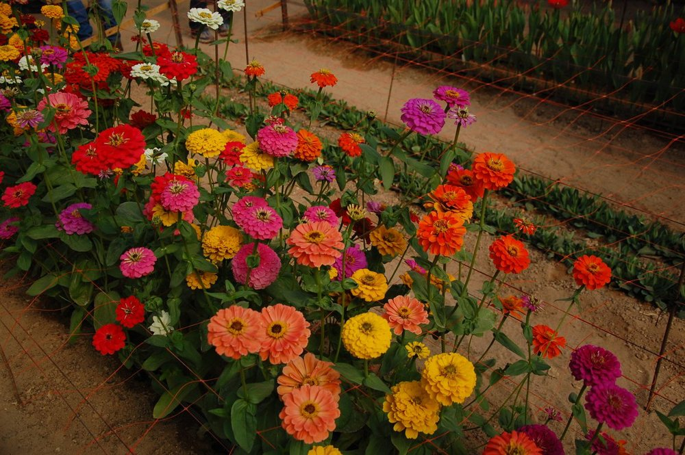 Click photo to download. Caption: Flowers are grown at a greenhouse at the Arava R&D Center. Credit: Barry A. Kaplan.