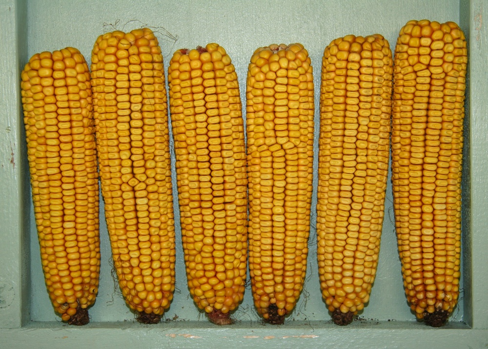 Click photo to download. Caption: Corn, a form of kitniyot. Credit: Jonathunder via Wikimedia Commons.
