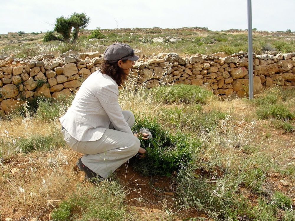 Click photo to download. Caption: Women in Green co-chair Nadia Matar checks on a recent planting at Netzer, an area of Israeli state land in Gush Etzion where Arabs have been illegally working the fields and destroying trees planted by Jews. Credit: Judy Lash Balint.
