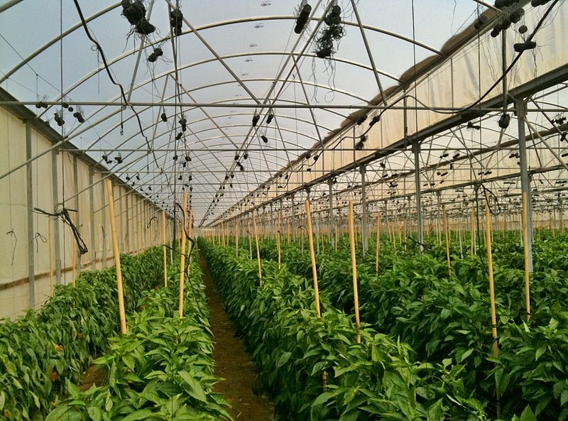 A greenhouse in Israel (illustrative). A Thai worker was killed when a greenhouse was hit by a rocket in Israel Wednesday. Credit: Wikimedia Commons.