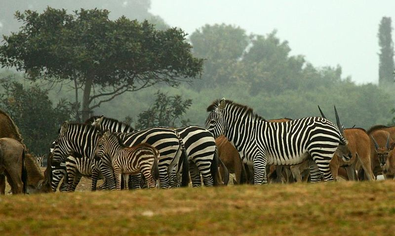 Zebras at the Ramat Gan Safari near Tel Aviv. Credit: Wikimedia Commons.