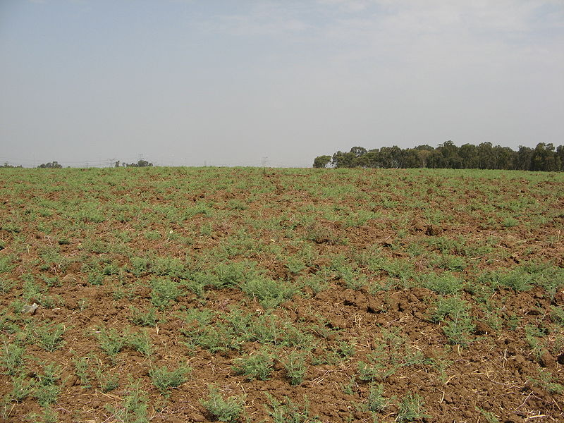 Click photo to download. Caption: A field near Rosh HaAyin in Israel, left barren for the 2007-2008 sabbatical year of Shmita. Credit: Yaakov via Wikimedia Commons.