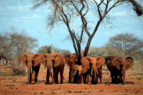 Click photo to download. Caption: Elephants in Kenya. Ivory, which comes from elephant tusks, is worth about $900 per pound on the black market—a lucrative proposition for animal poachers. Credit: Maryam Laura Moazedi via Wikimedia Commons.