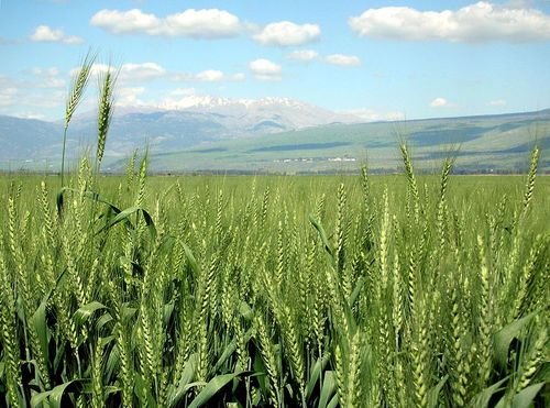 Wheat growing in northern Israel's Hula Valley. Credit: Carol Spears via Wikimedia Commons.