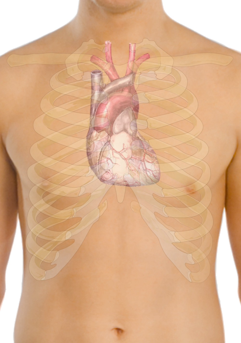 The heart. Credit: Wikimedia Commons.