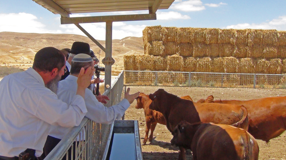 Click photo to download. Caption: Rabbis from the Temple Institute inspect recently born male red angus cows in Israel. Credit: The Temple Institute.