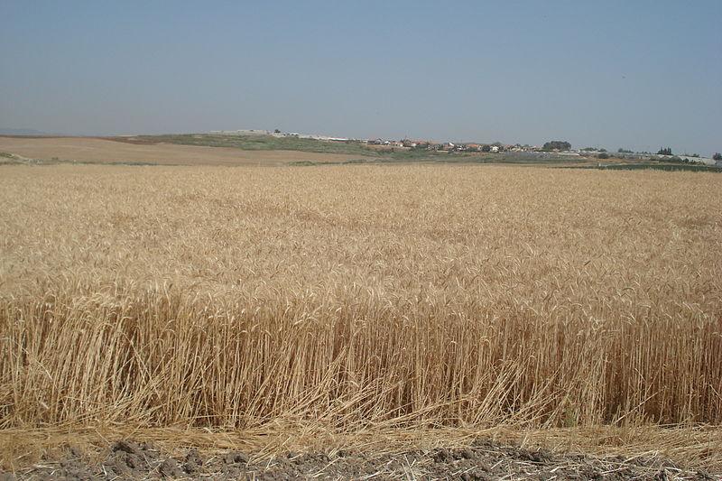 A wheat field in Israel. Credit: PikiWiki Israel.