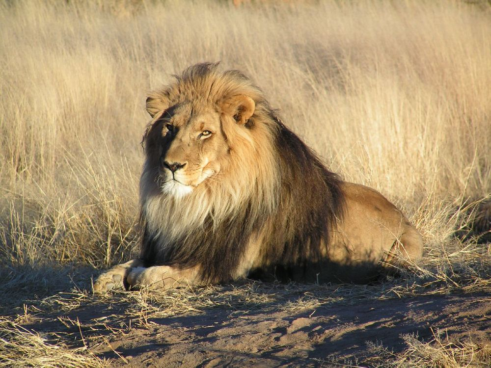 An African lion in Tel Aviv is faring better than his tragically killed counterpart Cecil the lion in Zimbabwe. (Illustrative photo.) Credit: Wikimedia Commons.