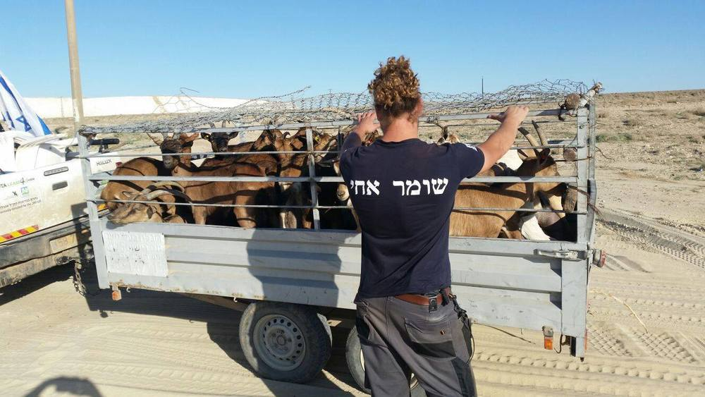 "Click photo to download. Caption: Stolen goats found by the HaShomer HaChadash (""The New Guardian"" in Hebrew) organization. Credit: Courtesy Jewish National Fund."