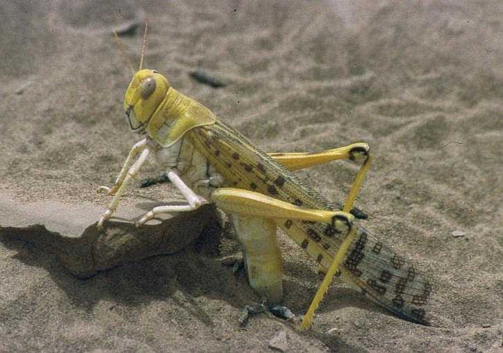 A locust. Credit: Christiaan Kooyman via Wikimedia Commons.