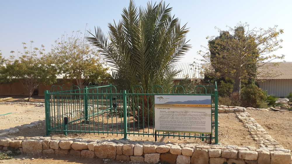 "Click photo to download. Caption: ""Methusaleh,"" the date palm that sprouted from a 2,000-year-old at the Arava Institute for Environmental Studies in southern Israel. Credit: Courtesy JNF."