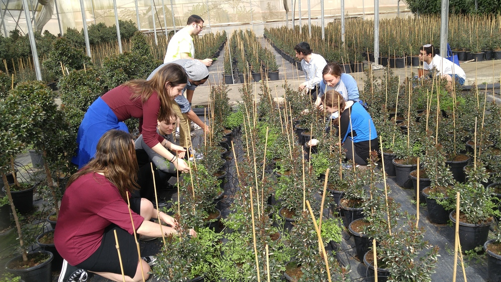 Click photo to download. Caption: During a recent mission to Israel, Yeshiva University and Stern College students perform volunteer work in the greenhouse of a man who was forced to relocate from the Jewish community of Gush Katif during Israel's unilateral disengagement from Gaza in 2005. Credit: Yeshiva University.