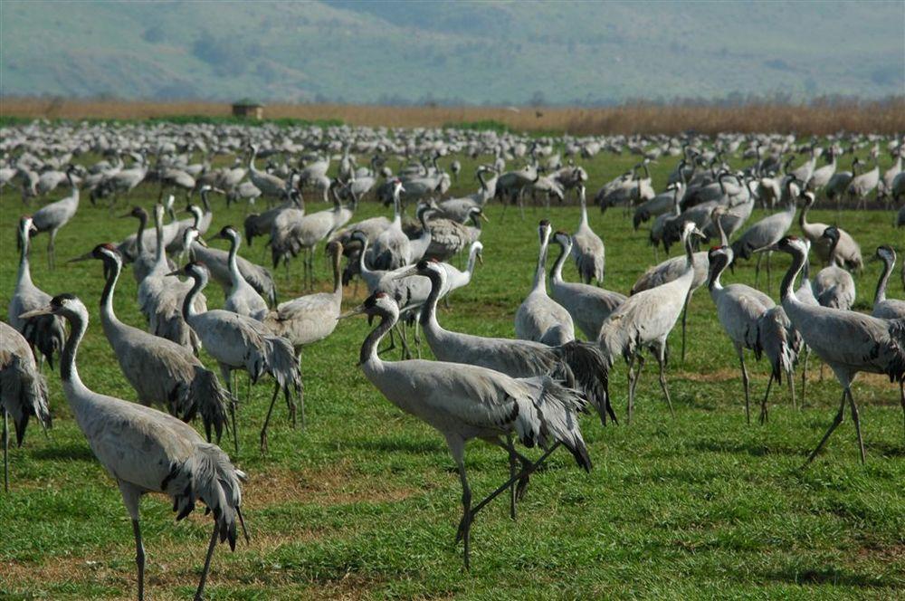 Click photo to download. Caption: Common grey cranes at the JNF-KKL Hula Lake Park in Israel. Credit: JNF-KKL archive.