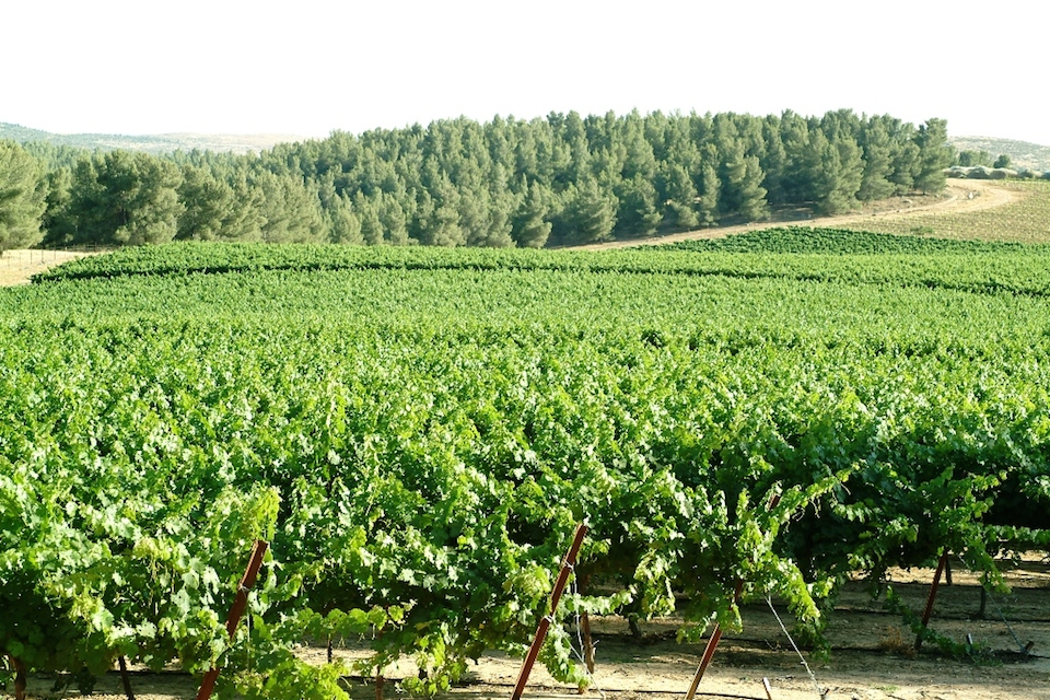 Click photo to download. Caption: A forest-based, but also desert-based, vineyard of Israel's Yatir Winery. Credit: Yatir Winery.