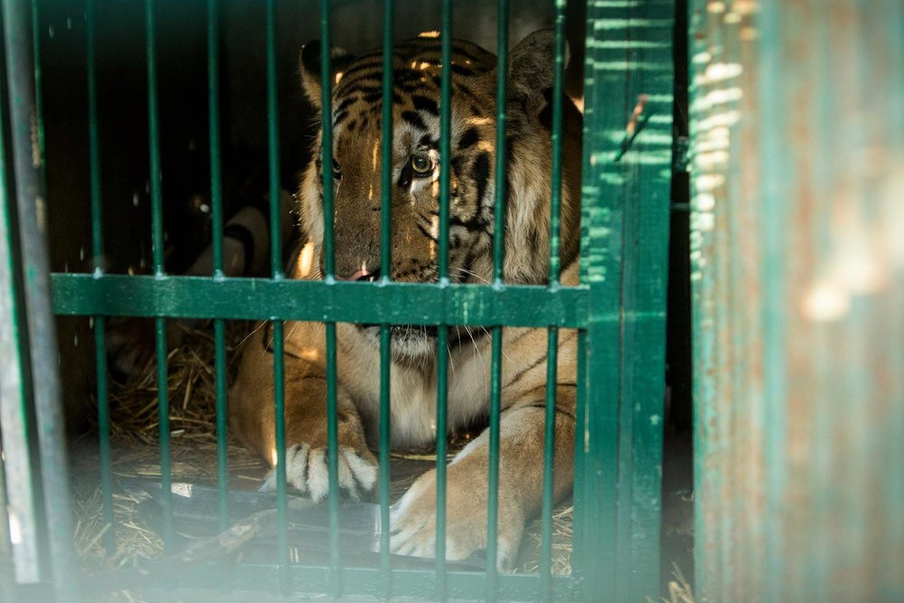 A tiger that was rescued from the Gaza Zoo by Four Paws International. Credit: Four Paws International.
