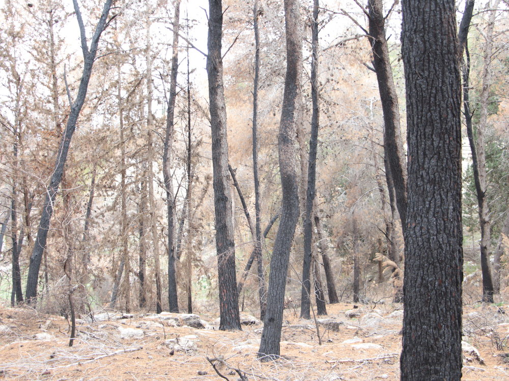 A forest in Israel in the aftermath of last November's wave of fires across the country. Credit: Yoav Devir.