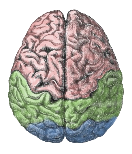 The human brain. Credit: Wikimedia Commons.