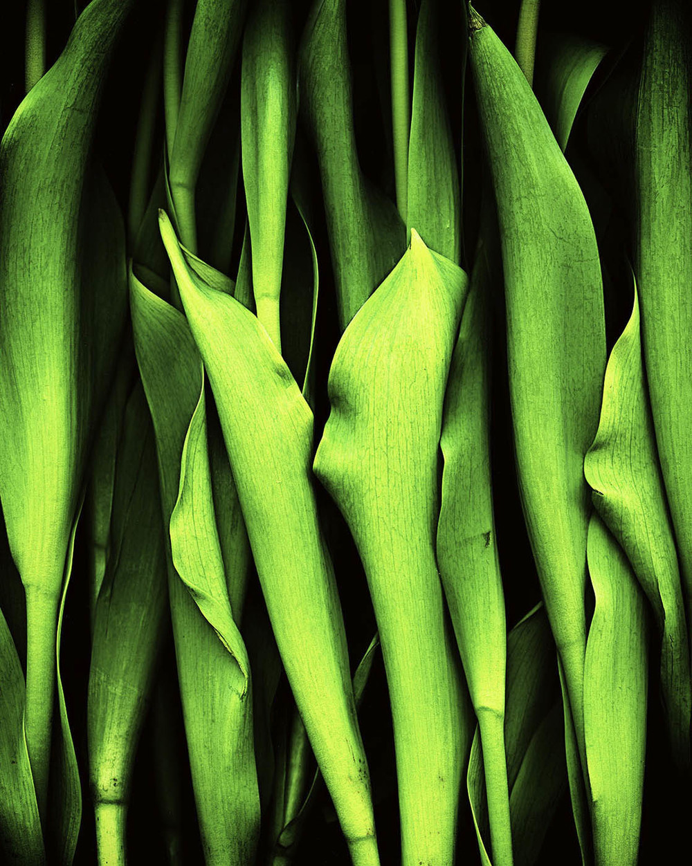 Tulips Stems