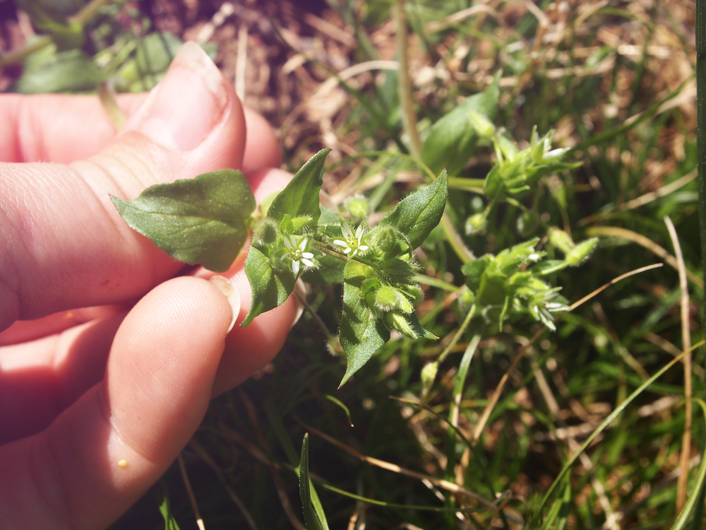 chickweed head.jpg