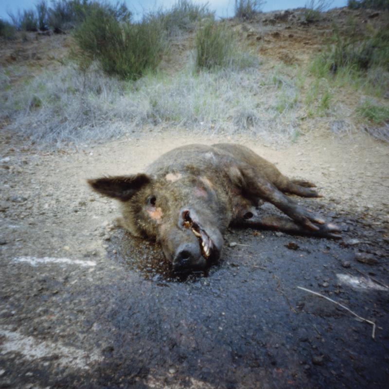 Deceased Wild Pig