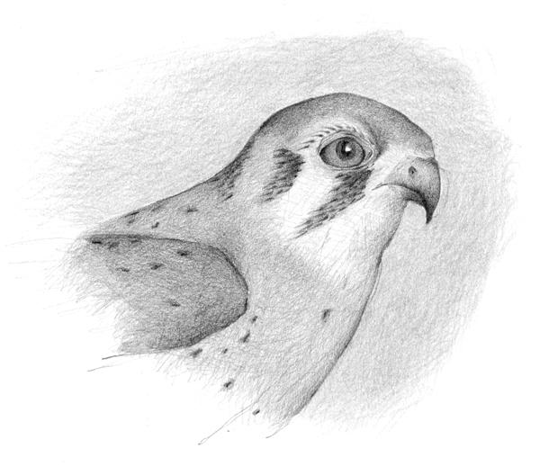 Louise Jennison, American Kestrel (Falco sparverius), 2013, drawing