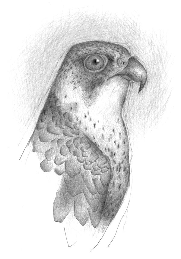 Louise Jennison, Peregrine Falcon (Falco peregrinus), 2013, drawing