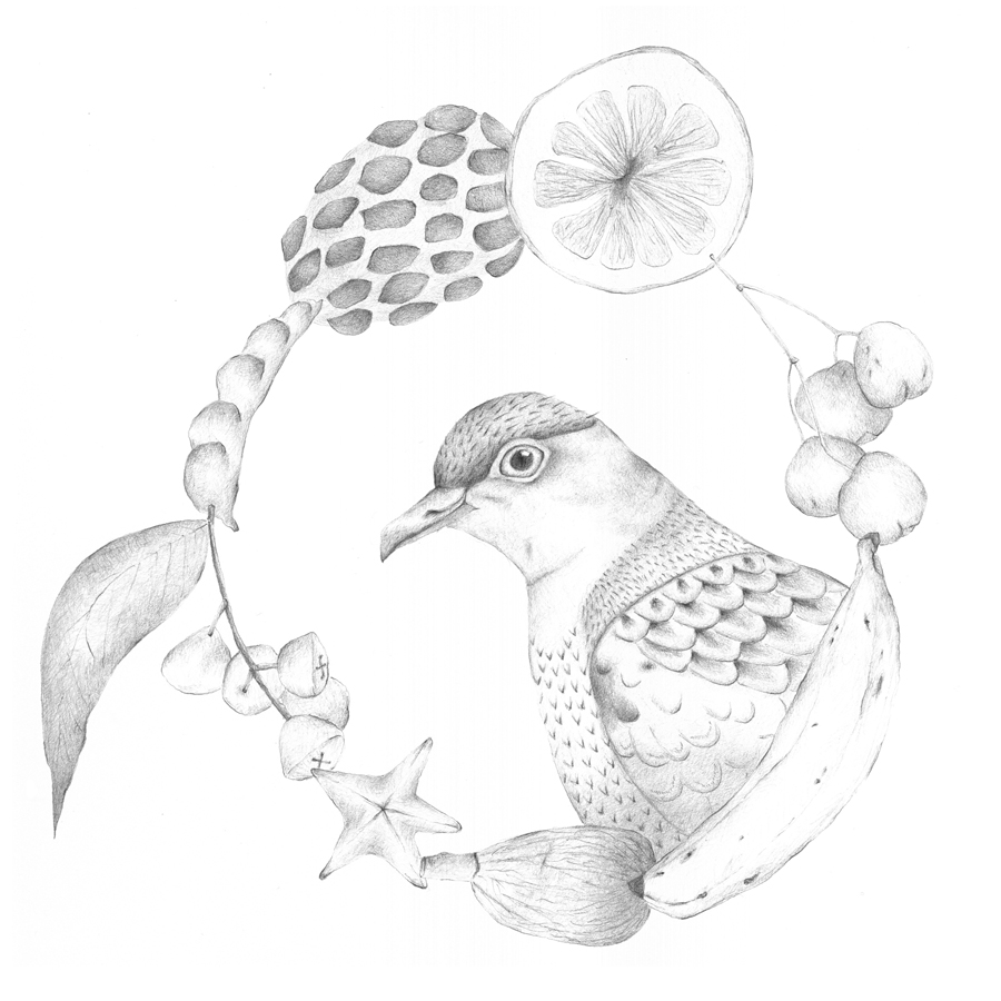 Louise Jennison's Superb Fruit-Dove ( Ptilinopus superbus ) from the artists' book   A Year of Southern Hemisphere birds   and   A Flight of Twelve Southern Hemisphere Birds  , 2013