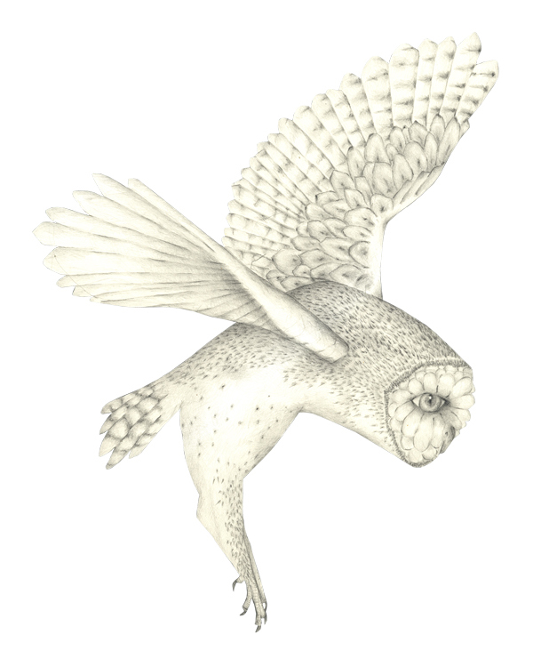 Louise Jennison,  Barn owl (Tyto alba) , 2011, drawing