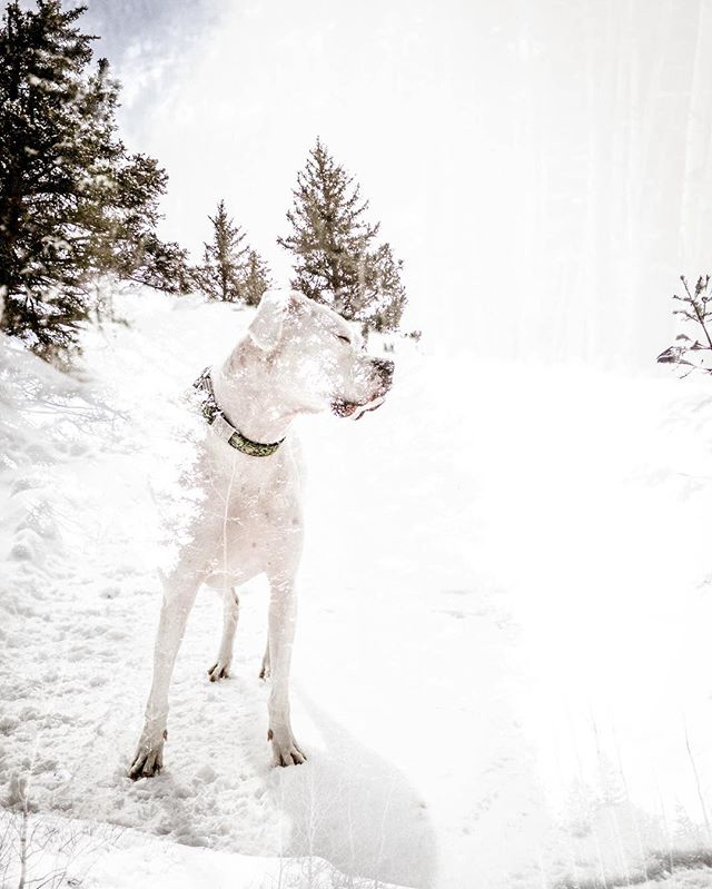 multi-exposure mountain dog.