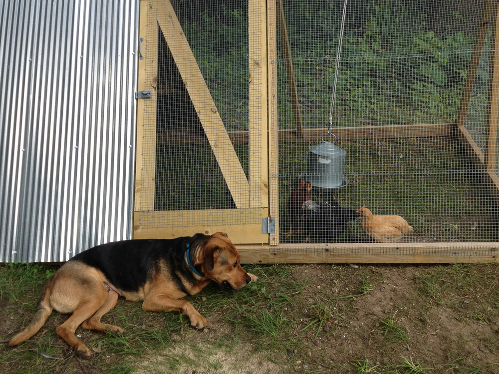 Our ferociouswatchdog Maisy is keeping the chickens couped up ;)