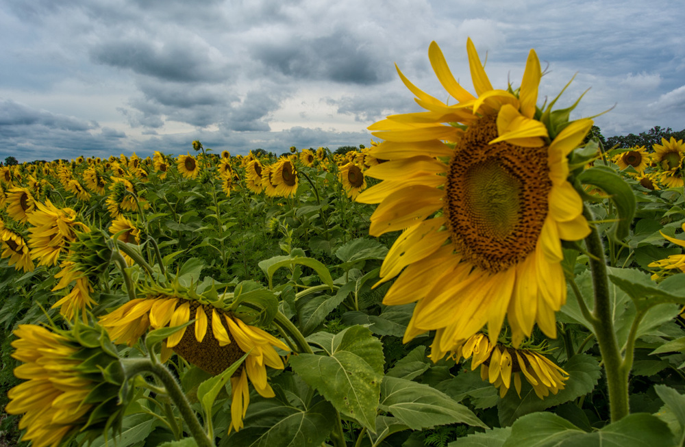 Sunflowers are so fun to photograph. I could have spent all day out in this field looking for photos with different angles. Unfortunately I had other commitments. Maybe next time.
