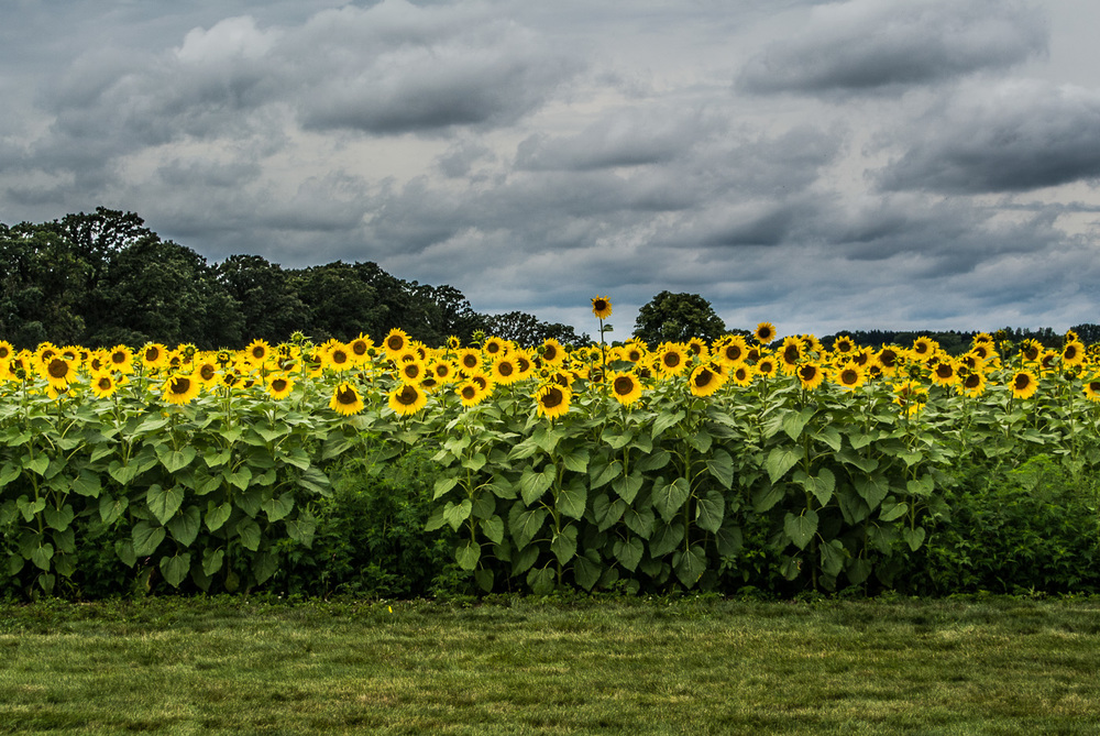 I am not sure how Wilt the Stilt Sunflower got to grow so tall, but he really stands out amongst his peers. Do you think he would be a good basketball player?