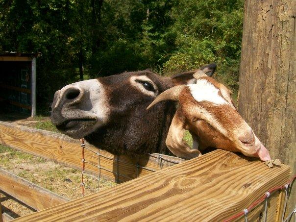 goatdonkey.jpg