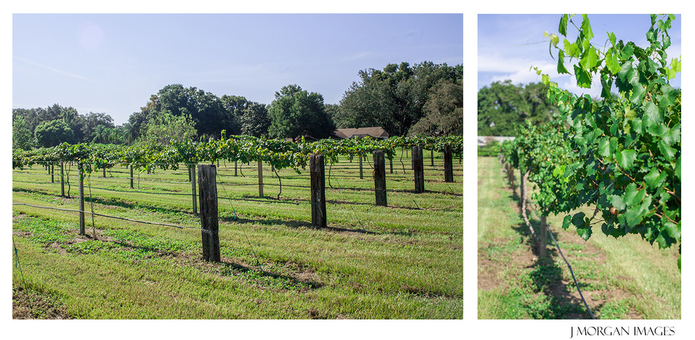 valrico grape picking