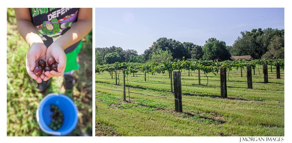 hands grape picking florida photographer
