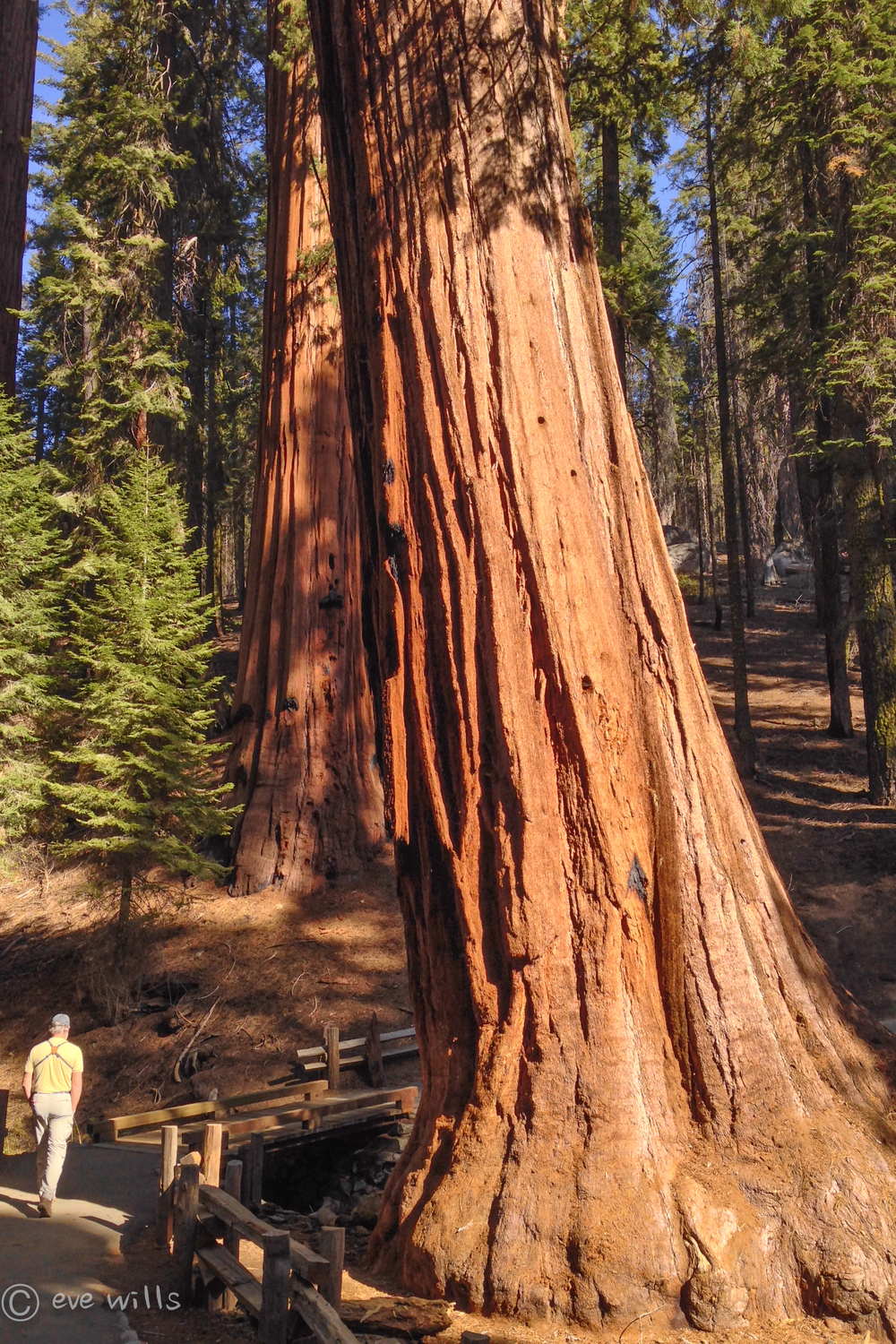 Ancient Giant Sequoias dwarf even Kurt - A humbling experience. (And we all know Kurt needs humbling)