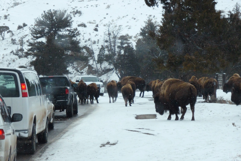 Bison jams, like this one are a common occurrence in late winter as animals move to lower altitude for better forage.