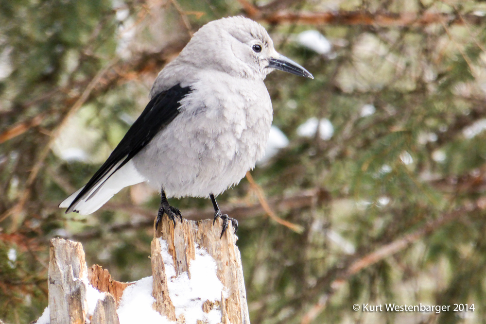 Clark's Nutcracker: a bird so common in Yellowstone it didn't even make my list of sightings. Pretty though, and very interesting to watch.