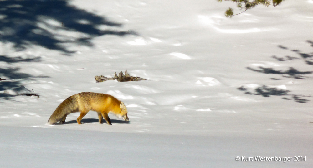 Seeing a fox in Yellowstone is a special treat. This season we saw nine of these gorgeous critters.