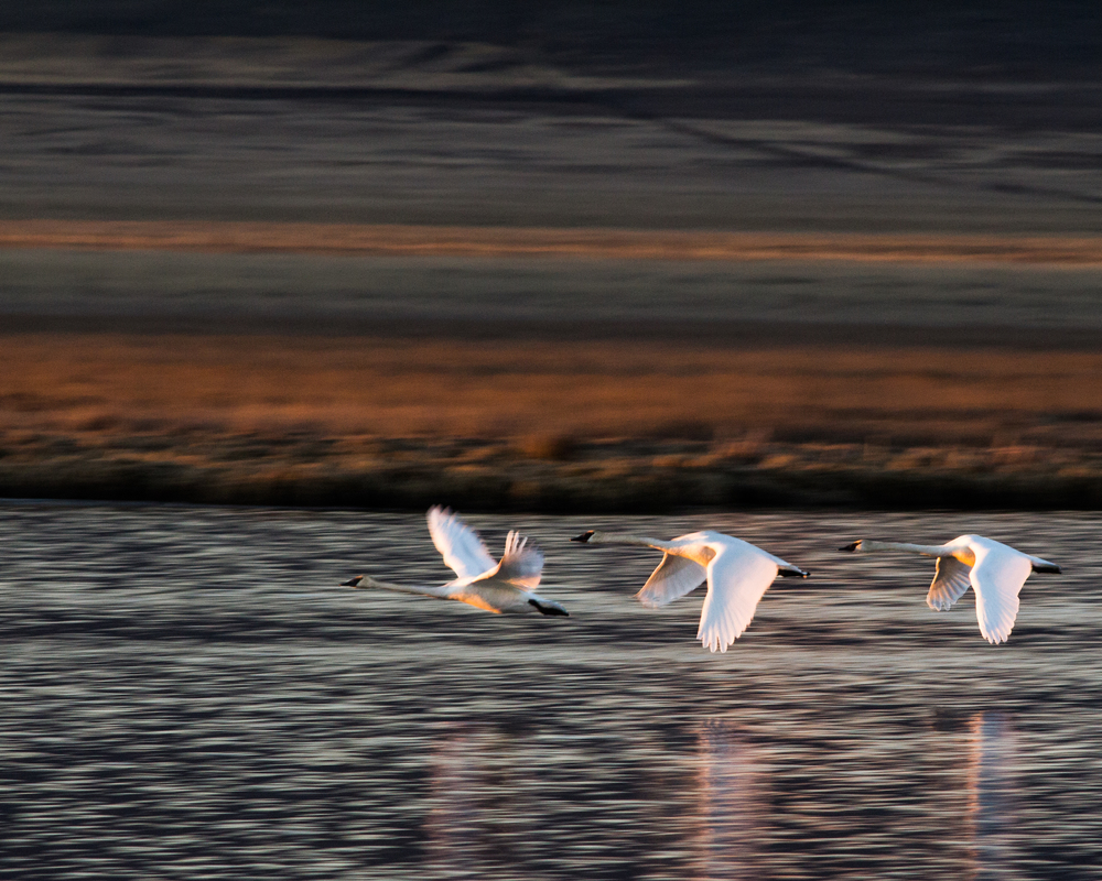 Trumpeter Swans, Red Rock Lakes NWR