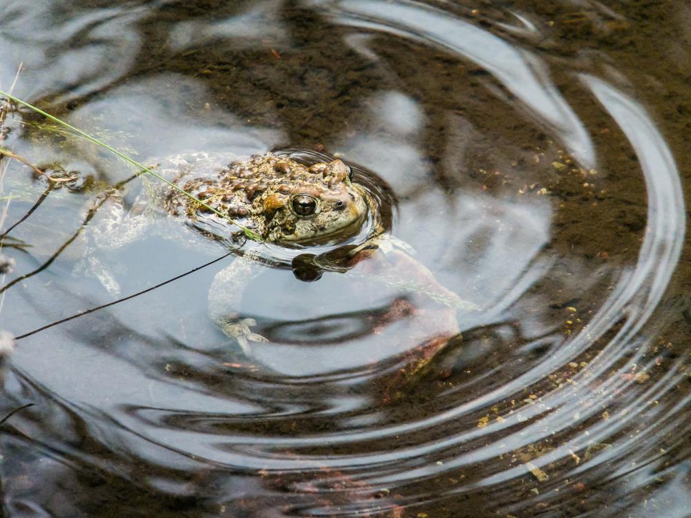 Western Boreal Toad, Glacier NP