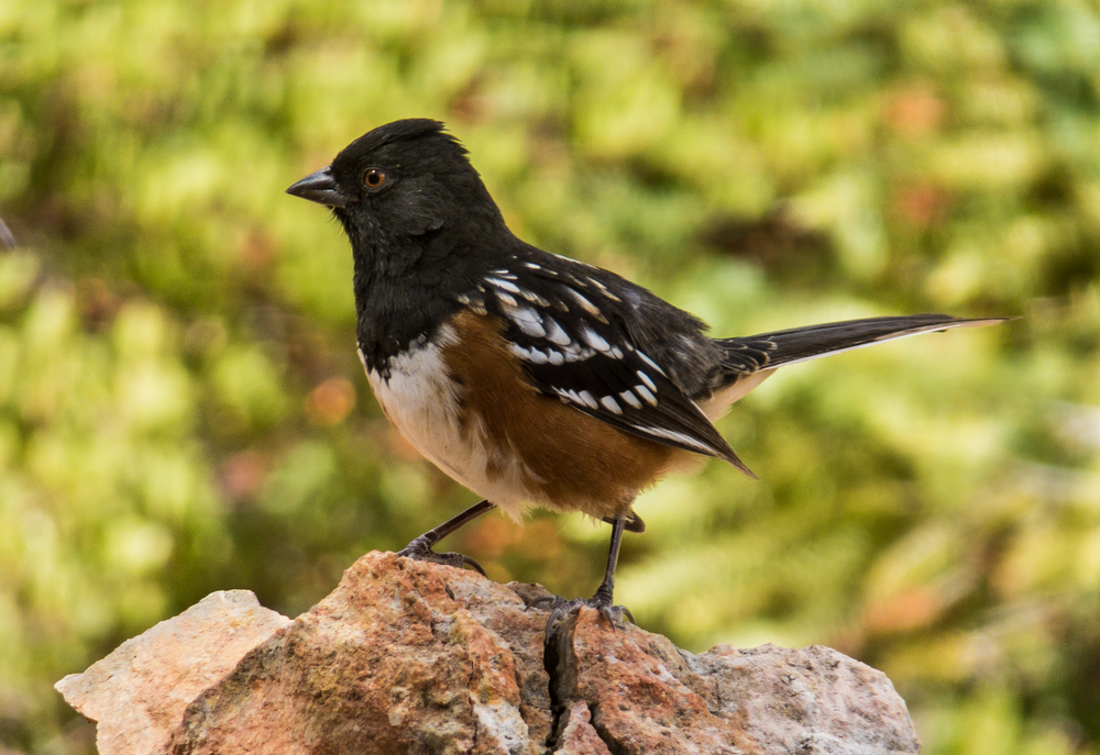 Spotted Towhee, Bryce NP