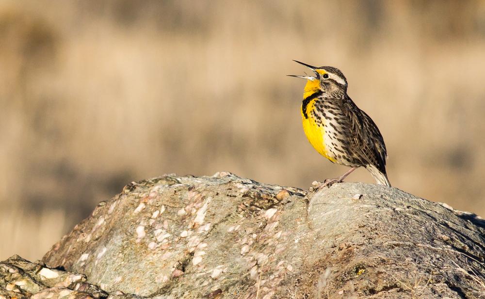 Western Meadowlark, Antelope Isle UT