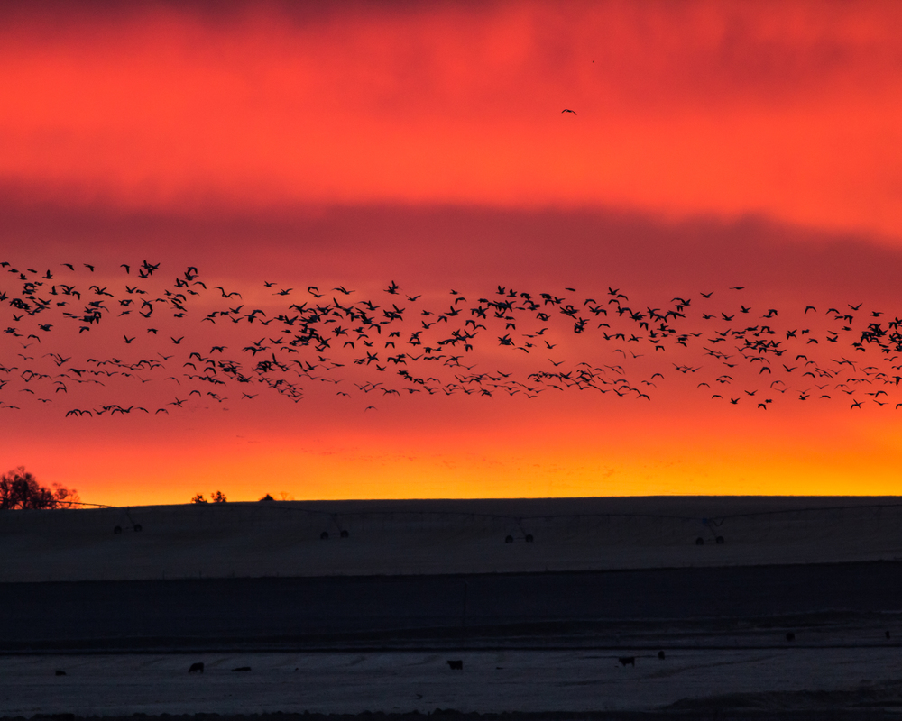 Snow Geese at Sunset, Freezeout Lake NWR