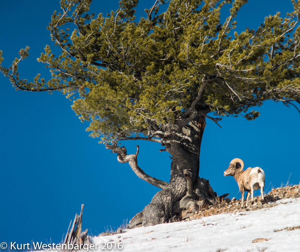 Bighorn sheep ram with limber pine in Lamar Valley, Yellowstone National Park.