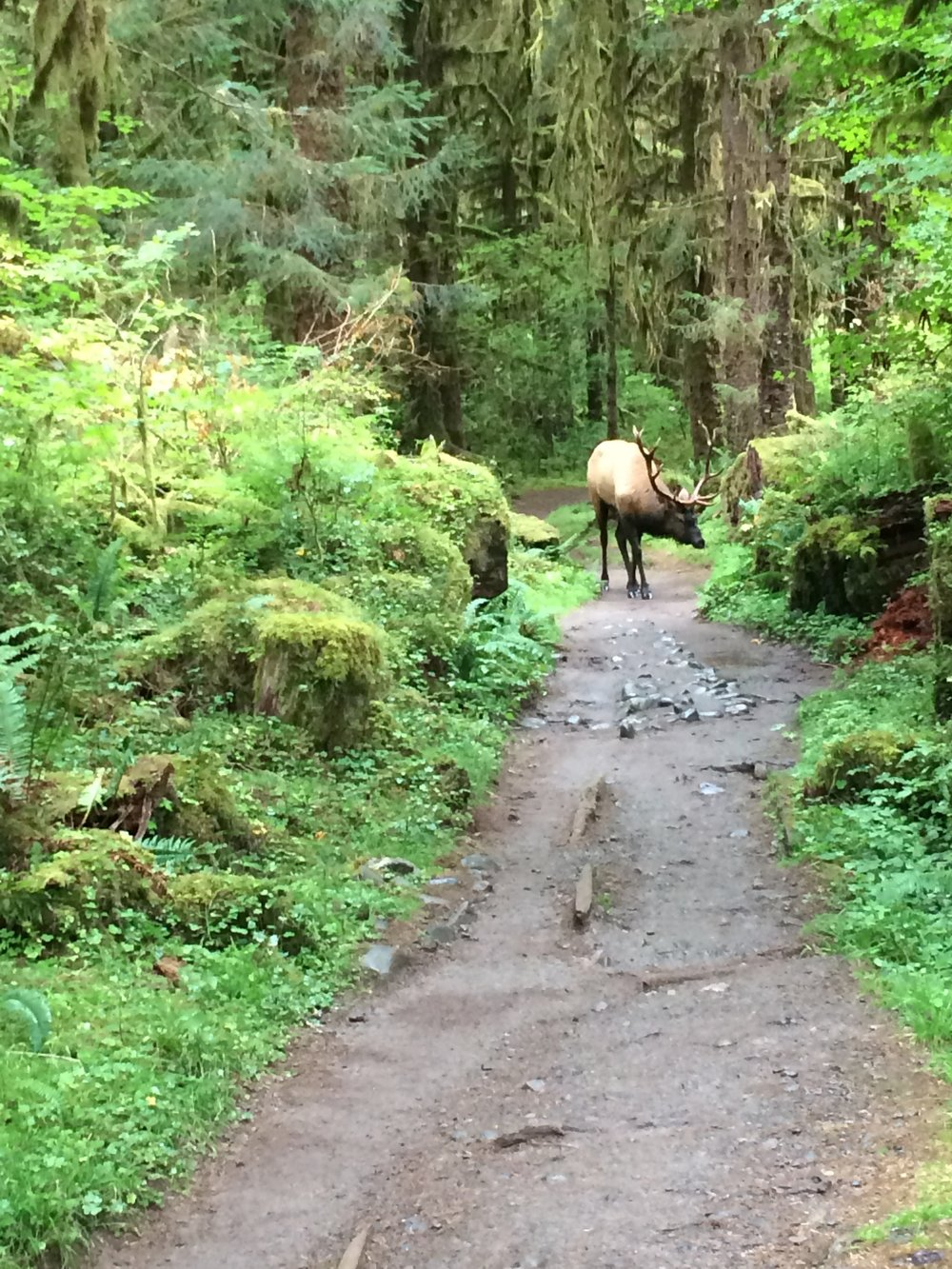 Roosevelt elk blocking our path on the Hoh River Trail, Olympic National Park