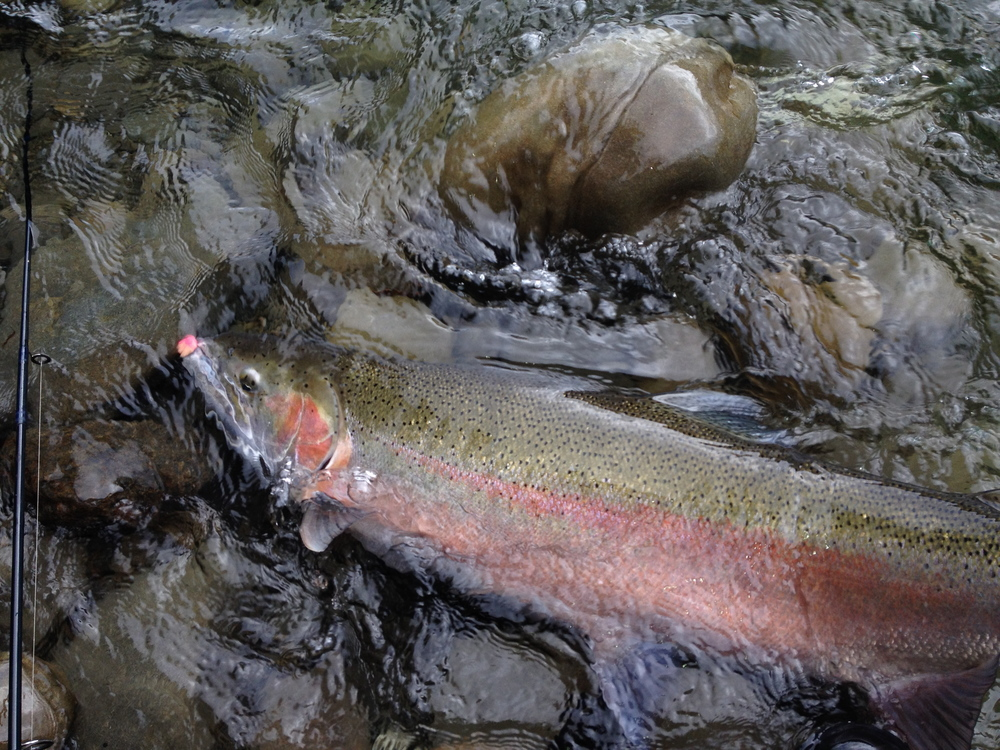 Beautiful steelhead...a big one at that, though it was challenging to get a good photo before releasing.